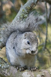 Delmarva Peninsular Fox Squirrel Stock Image