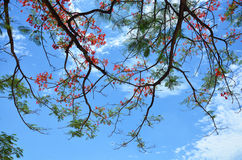 Delonix与云彩和天空的regia树 免版税库存照片