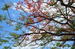 Delonix与云彩和天空的regia树 免版税库存图片