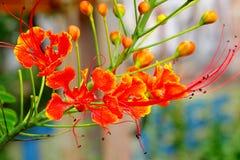 Delonix Regia или королевский цветок Poinciana или Gulmohar Стоковая Фотография RF