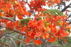 Delonix Regia Royalty Free Stock Images