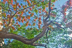 Delonix regia. Blue sky, red flowers and green leaves, strong color contrast Royalty Free Stock Images