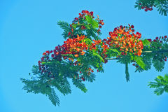Delonix regia. Blue sky, red flowers and green leaves, strong color contrast Stock Images