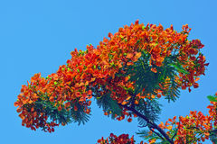 Delonix regia. Blue sky, red flowers and green leaves, strong color contrast Royalty Free Stock Photos