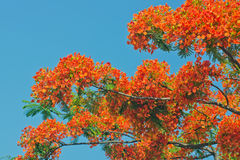 Delonix regia. Blue sky, red flowers and green leaves, strong color contrast Royalty Free Stock Photography