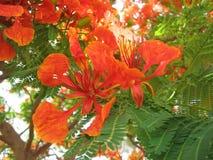 Delonix regia. Beautiful blossom of fire-red delonix Stock Image