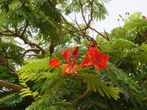 Delonix regia bloom Stock Photo