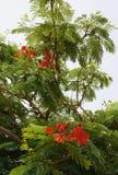 Delonix regia bloom Stock Photos