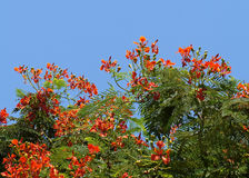 Delonix regia blossom Stock Photo