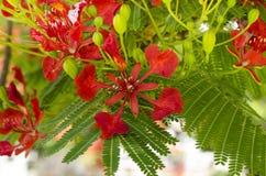 Delonix Regia-Blumen lizenzfreie stockfotografie