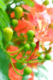 Delonix regia buds Royalty Free Stock Photography