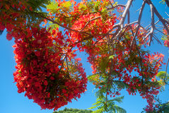 Delonix regia on Canary Islands Royalty Free Stock Photography