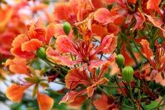 Delonix regia, Flame tree, Gul mohar Stock Image