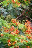 Delonix regia(flame trees) Stock Photography