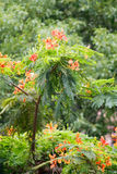 Delonix regia(flame trees) Royalty Free Stock Photo