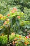 Delonix regia(flame trees) Royalty Free Stock Photo