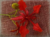 Delonix regia - Flower and bud - Red stock photography