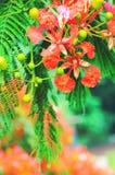 Delonix regia flower Stock Photo