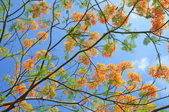 Delonix regia flowers Royalty Free Stock Photos