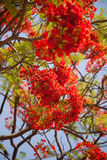 Delonix regia or Gulmohar or May Flower Stock Photo
