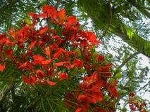 Delonix regia kwiatonośna roślina r w lecie z pomarańczową czerwienią kwitnie Królewskiego poinciana z owoc, fotografia stock