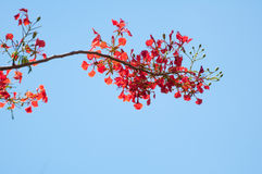 Delonix Regia or Flame Tree branch with red flowers Royalty Free Stock Photos