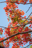 Delonix Regia tree branches with red flowers Royalty Free Stock Image