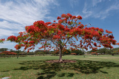 Flamboyant tree Stock Image