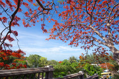 A Delonix Regia in red bloom in a park in VietNam, in summer sea Royalty Free Stock Photos