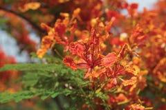 Delonix regia. Spring flowering Delonix regia. Thailand Chiang Mai Stock Photo
