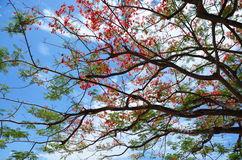 Delonix regia tree with clouds and sky Royalty Free Stock Image