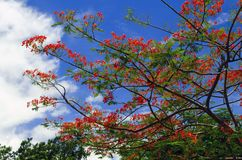 Delonix Regia Tree. Royalty Free Stock Photo