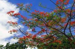 Delonix Regia Tree. Royalty Free Stock Photo