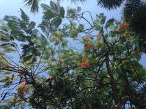 Delonix Regia Tree with Flowers in Miami. Royalty Free Stock Image