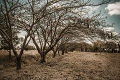 Delonix regia trees near Mount Kilimanjaro royalty free stock photo