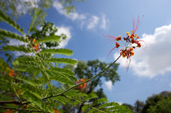 Delonix regia under blue sky Stock Photos