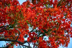 Delonix royal tree with red blooming flowers stock photos