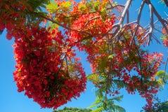 Delonixregia op Canarische Eilanden Royalty-vrije Stock Fotografie