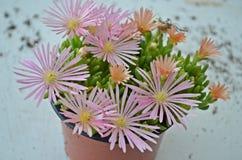 Delosperma,假山花园植物 免版税库存照片