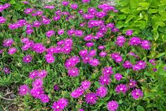Delosperma Royalty Free Stock Image