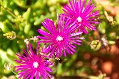 Delosperma Cooperi kwiatów zamknięty up Obraz Royalty Free
