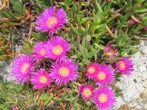 Delosperma cooperi, lodowa roślina na skale zdjęcia royalty free