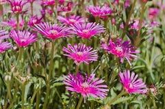 Pink Carpet, Ice Plant royalty free stock photo