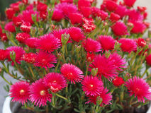 Delosperma cooperi (Trailing iceplant, Hardy ice) flower Stock Images