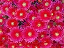 Delosperma cooperi (Trailing iceplant, Hardy ice) flower Royalty Free Stock Image