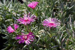 Delosperma cooperi, trailing iceplant pink flowers Royalty Free Stock Photos