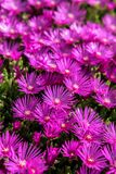 Delosperma flowers. Close up view at Delosperma flowers Royalty Free Stock Images