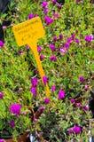 Delosperma Nivalis植物待售 免版税库存图片