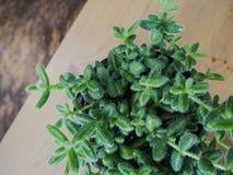 Delosperma suculento surafricano Echinatum, o planta de la selección fotos de archivo