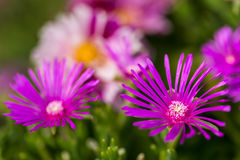 Delosperma violet. Violet delosperma in garden with nice background royalty free stock photo
